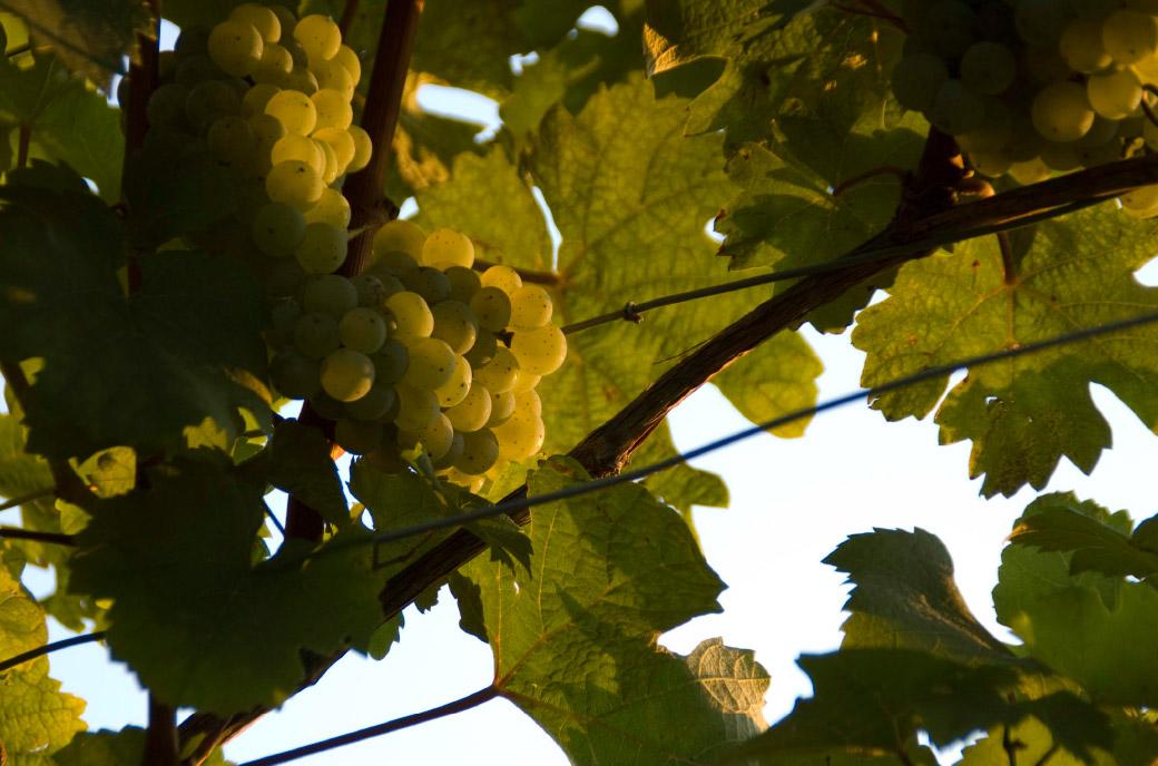 Weingut Zorn Riesling-Weintraube