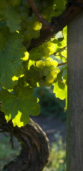 Weingut Zorn Weinstock